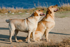 Two Labradors outdoors. Dog and doggess of Labrador on the seashore Stock Photography