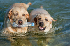 Two Labradors outdoors Royalty Free Stock Image