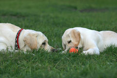 Two labradors playing with a ball Royalty Free Stock Photos