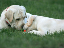 Two labradors playing with a ball Stock Image