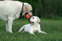 Two labradors playing with an orange ball Royalty Free Stock Image