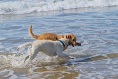 Two labradors playing with a stick at the beach Royalty Free Stock Photos