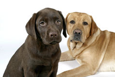 Two labradors retriever Royalty Free Stock Images