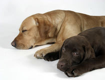 Two labradors retriever Stock Photography