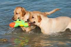 Two Labradors at sea Stock Photography