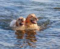 Two Labradors at sea. Dog and doggess of Labrador swimming in the sea and carrying stick in their teeth Stock Image