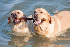 Two Labradors at sea. Dog and doggess of Labrador swimming in the sea and carrying stick in their teeth Royalty Free Stock Photography