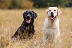 Two Labradors sitting Stock Photos