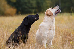 Two Labradors sitting Stock Images