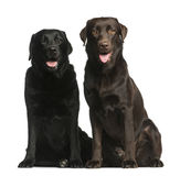 Two Labradors sitting. In front of a white background Stock Photo