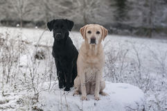 Two labradors in the snow. Cute young Labradors in the winter snow Royalty Free Stock Images