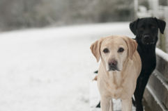 Two labradors in the snow. Cute young Labradors in the winter snow Royalty Free Stock Image