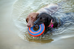 Two labradors swimming with frisbee Stock Photos