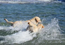 Two labradors swimming in the sea Stock Photo