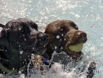 Two Labradors With Tennis Ball in Water. Two Labradors Competing over Fetched Ball in Water Stock Image