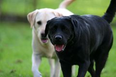 Two Labs. One yellow and one black Labrador retriever Stock Images