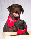 Two labs, chocolate and black lab wearing red bandannas Stock Photo