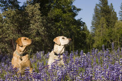 Two labs in the flowers Stock Photography