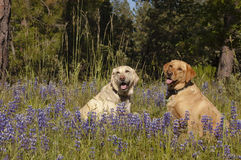 Two Labs in the flowers. Two female Labradors sitting in the wildlflowers obeying the stay command royalty free stock photos