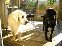 Two Labs  - one white one black. Both purebred Labradors Royalty Free Stock Photography