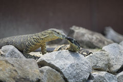 Two lace monitors. On rocks Stock Photos