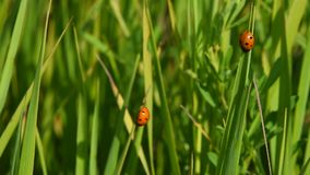 Two lady bugs in green grass in the wind. Two red lady bugs in high green grass waving and balancing in the wind, bright sunny day stock video