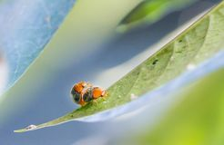 Two Lady Bugs Stock Image