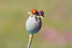 Two ladybird ladyluck on green poppy seeds head Royalty Free Stock Image