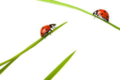 Two ladybird on meeting Royalty Free Stock Photo