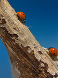 Two ladybirds stock photo