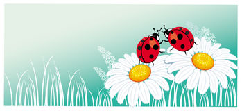 Two ladybirds on the chamomile Stock Photos