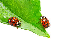 Two ladybirds on a dewy leaf isolated. On white background Stock Images