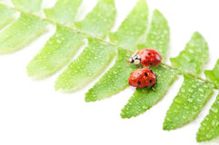 Two ladybirds on green leaf Royalty Free Stock Photos