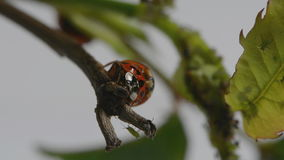 Two ladybirds and a greenfly stock footage