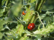 Two ladybirds on a thorny stalk Stock Image
