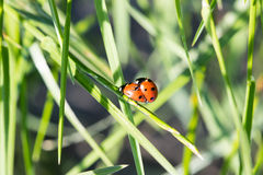 Two ladybirds. Together on a leaf Stock Images