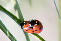 Two ladybirds. Together on a leaf Royalty Free Stock Photography