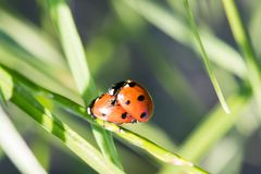 Two ladybirds. Together on a leaf Royalty Free Stock Image