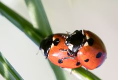 Two ladybirds royalty free stock image