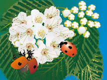 Two ladybirds and white flowers Royalty Free Stock Images