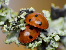 Two ladybug Royalty Free Stock Image