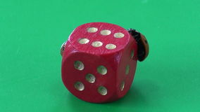 Two ladybug ladybird ladyluck on red game dice. With number six- success concept stock video