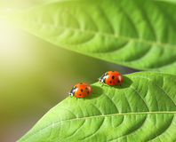Two ladybug on leaf Royalty Free Stock Images