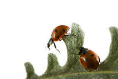 Two ladybugs Royalty Free Stock Photo