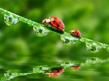 Two ladybugs. Royalty Free Stock Image