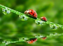 Two ladybugs. Royalty Free Stock Image