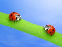Two ladybugs. Sitting on fresh green leaf Royalty Free Stock Photography