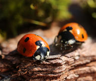 Two ladybugs of early spring Royalty Free Stock Image