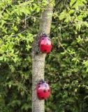 Two ladybugs Stock Images