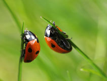Two ladybugs in grass blades Stock Photography